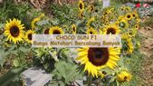 Photo Flower Lots – Choco Sun F1 Sun Flower Branched Many Flowers Many …