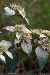 Pycnanthemum Incanum Hoary Mountainmint Plants Garden Species