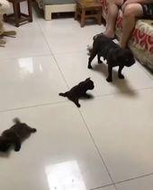 Kleine französische Bulldoggen versuchen ihr Bestes, um auf dem rutschigen Boden zu laufen.