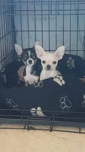 Image Result For Blue Tri Colored Chihuahua Chihuahua Canis French Bulldog