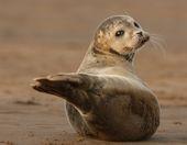 puppy eyes   – Seals