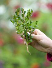 Buchsbaum selbst vermehren