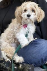 Sophia Is An Adoptable Maltese Dog In Portland Or Come Meet Sophia This Saturday January 12 11am 1pm At Salt Yorkie Puppy Maltese Dogs Terrier Mix Dogs