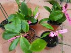 HOYA BICOLOR SMALL  PLANT IN 10CM HANGING POT HOUSE PLANT