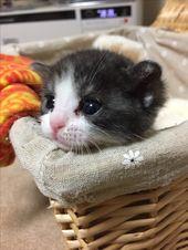 Pin By Fuki On くろしろさん Cats Animals Hamster