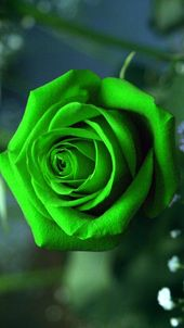 Green Rose Mobile Wallpaper Best Hd Wallpapers Beautiful Rose Flowers Green Rose Rose Wallpaper