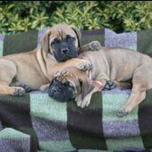 Bullmastiff puppies.. Sooo cute and beautiful :)  – Sabrushka Bullmastiffs
