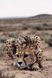Cheetah Cat #cat Katzen #cats #bigcats