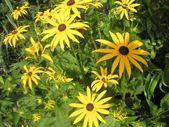 Gelber Sonnenhut Staude Rudbeckia fulgida var. sullivantii Goldsturm Pflanze Leu…