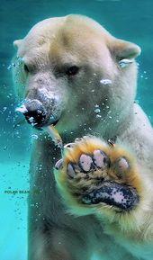 Polar Bear – animals~