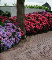 """Freiland-Hortensien-Hecke """"Rot-Blau"""",3 Pflanzen"""