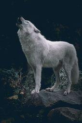 Wenn Sie ein Wolfsliebhaber sind, retten Sie unseren Stift! Folgen Sie uns für weitere schöne Wolfsfotos …