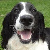 Adopt Jasper On Springer Spaniel English Springer Spaniel
