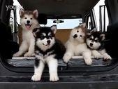 Y contra esta pandilla de cachorros, el perro salchicha tambaleante es simplemente aburrido.   – dogs