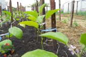 Photo of Planting eggplant in open ground and a greenhouse …