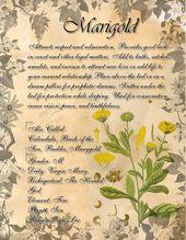 Souci / Calendula. Ceci est une page que j'ai faite pour mon livre des ombres dans le cadre de la …   – Herbal Grimoire