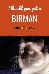 Birman – Cat Breeds