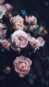 Wallpaper Background Lockscreen iPhone Pink Rose r