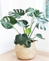 Bananenplant – Kamerplant