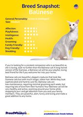 Balinese Breed Profile – Cats
