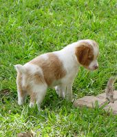 French Brittany I Need A Puppy Like This It S Soooooo Adorable Brittany Puppies Brittany Dog Brittany Spaniel Puppies