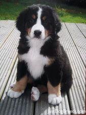 En el momento en que crezca, tendré un cachorro de montaña bernés. Quizás dos. – PERROS HERMOSOS   – Hunde Bilder