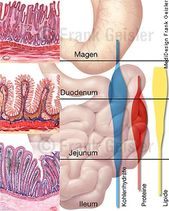 Physiology Human digestion, absorption of carbohydrates, proteins and lipids in the small intestine, between the duodenum, jejunum and ileum