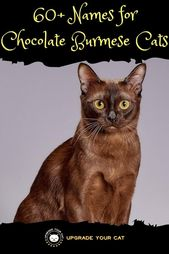 60 Chocolate Burmese Cat Names Upgrade Your Cat Burmese Cat Cat Names Cute Cat Names