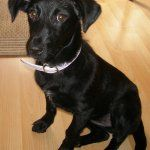 Besser Ein Labrador Mischling Welpen Oder Einen Reinrassigen Hund