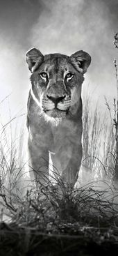 Iphone Wallpaper 4k Black And White Gallery Lion Pictures Animal Wallpaper Lion Wallpaper