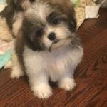 Shih Tzu Maltese Designer Puppies For Sale In Chicago Il