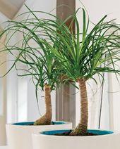Nolina Wygieta Nolina Recurvata Plants