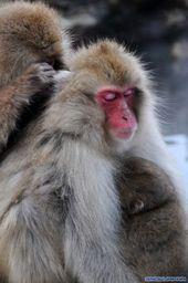 The Snow Monkeys of Jigokudani | Japanese Macaque …