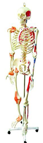 "walter products b10201 human skeleton model, full size 66"" (168 cm, Skeleton"