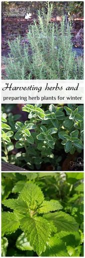 Harvesting Herbs and Preparing Herb Plants for Winter