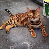 Das schöne Muster dieser Bengal-Katze macht ihn des Namens Thor würdig