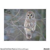 Barred Owl Strix Varia Postcard | Zazzle.com
