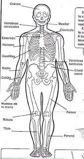 Aparatos Y Sistemas Del Cuerpo Humano Para Colorear Sistemas Del