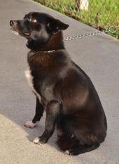 Dog Finder Adopt A Dog Or Cat Near You Dogtime Dog Adoption Dog Finder Schipperke Dog
