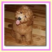 The Breeders of the Mini Australian Labradoodle Puppies | Log Cabin Labradoodles – Cuteness