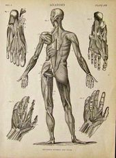 C 1842 Anatomy Lithograph In Plate Xvi Showing The Muscle Groups In The Human Body Hands And Feet Featured In Encyclopa Human Body Muscles Human Body Anatomy