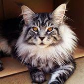 Diese 16 Katzen sind größer als Schäferhunde. Besonders beängstigend ist Nr. 5.