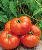 Tomate, Jersey-Jungen-Mischling   – Gardening