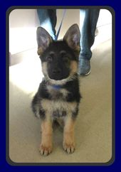 These Two Shepherds Were Recently Adopted Through Brightstar