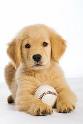 Golden Retriever Puppy Chiot Animaux Mignons Chiot Trop Mignon
