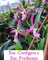Enc Cordigera X Enc Pyriformis Orchid Orchids Orchidcare Orchidcaretips Myfirstorchid Or Orchid Leaves Orchid Leaves Turning Yellow Orchids
