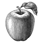 Engraved illustration of an apple Vector photo – …