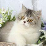 Pooh Bear Chinchilla Ivory Persian Kitten For Saledesigner Persian Kittens For Sale Luxury Kittens 660 292 2222 660
