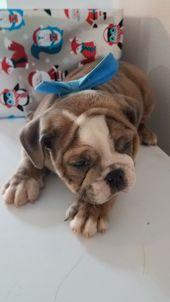Pin By Kayla Dexter On Mcallister S Bulldogs Bulldog French Bulldog Dogs