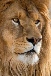 Lion … mighty child of Africa!